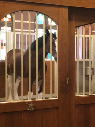 One of the Clydesdales - not a great photo, they're really gorgeous animals and their stables are nicer than our house!